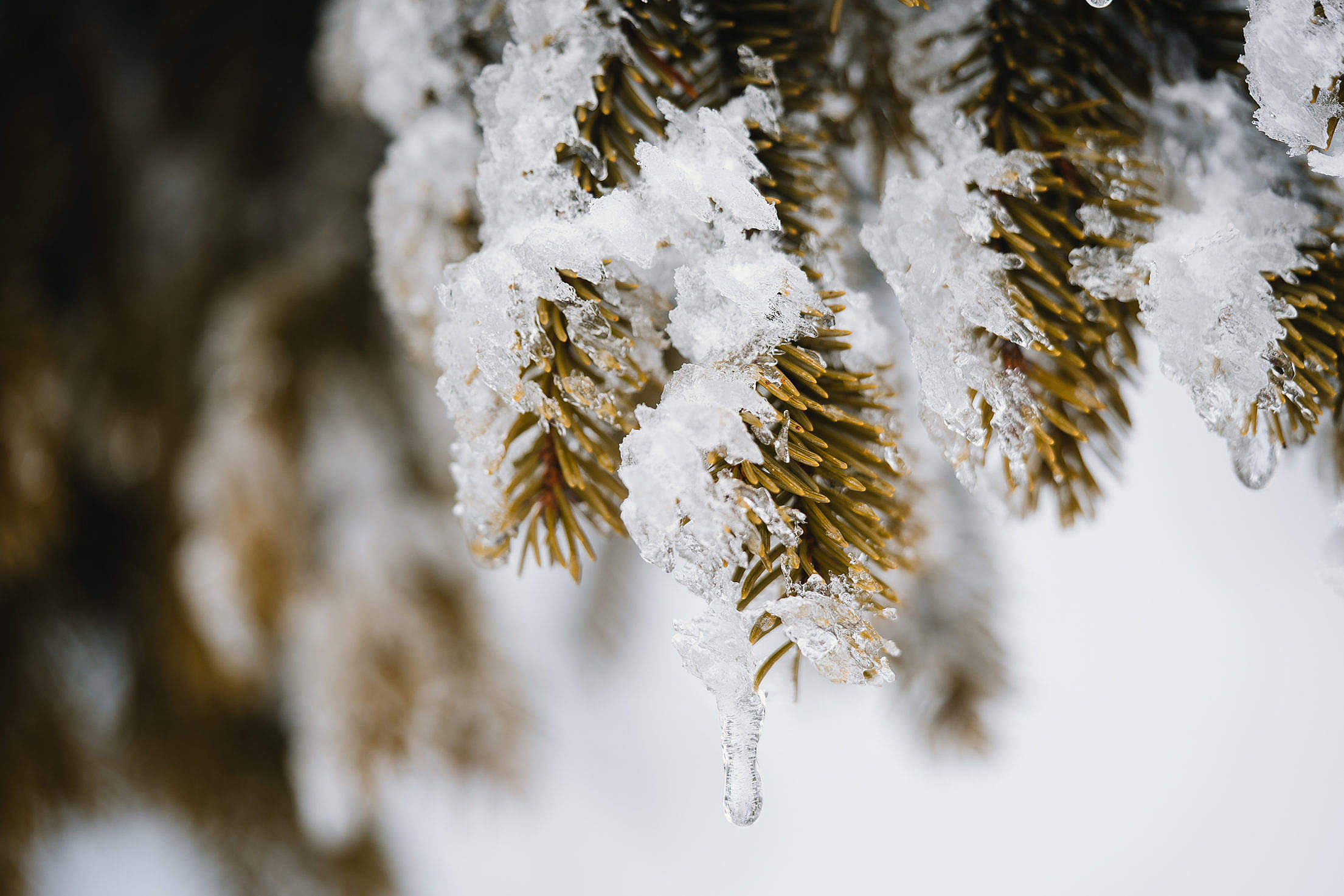Conifer Covered with Snow Free Stock Photo