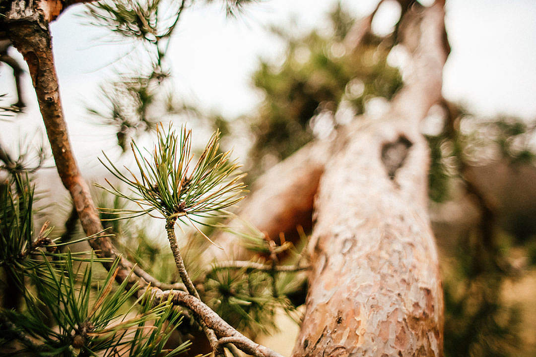 Download Conifer Tree Close Up FREE Stock Photo