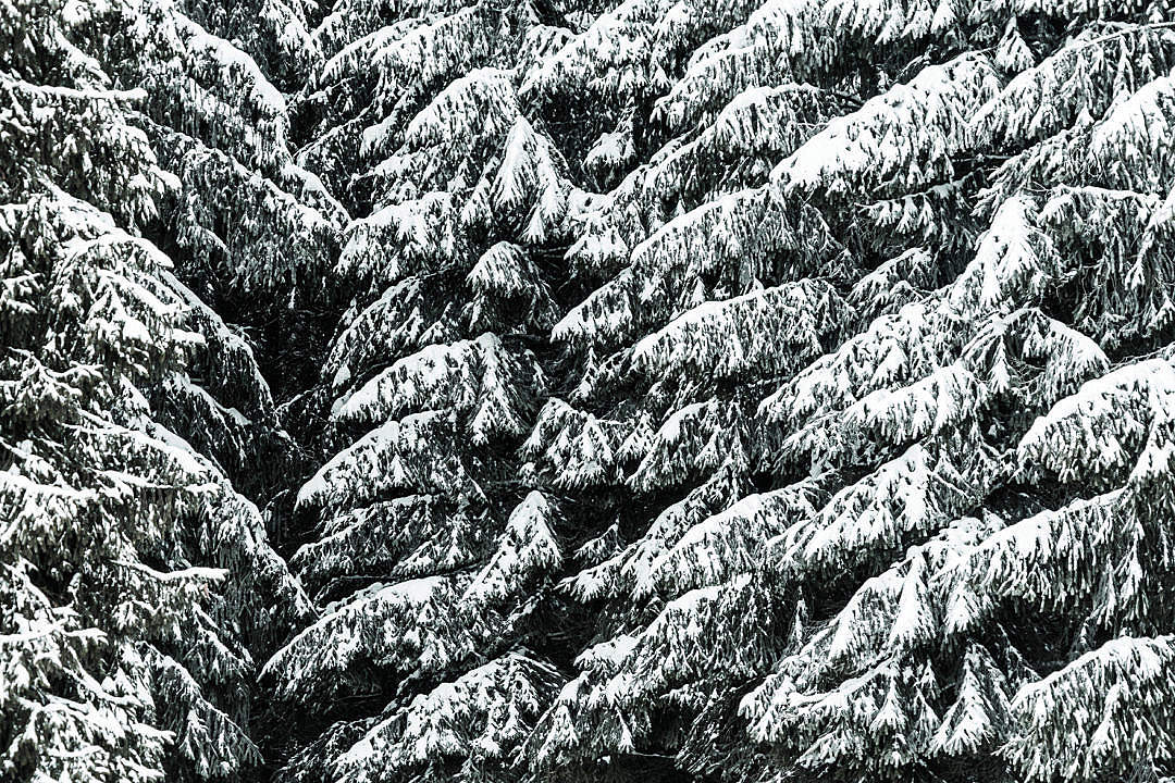 Download Conifer Trees Covered with Snow Close Up Background FREE Stock Photo