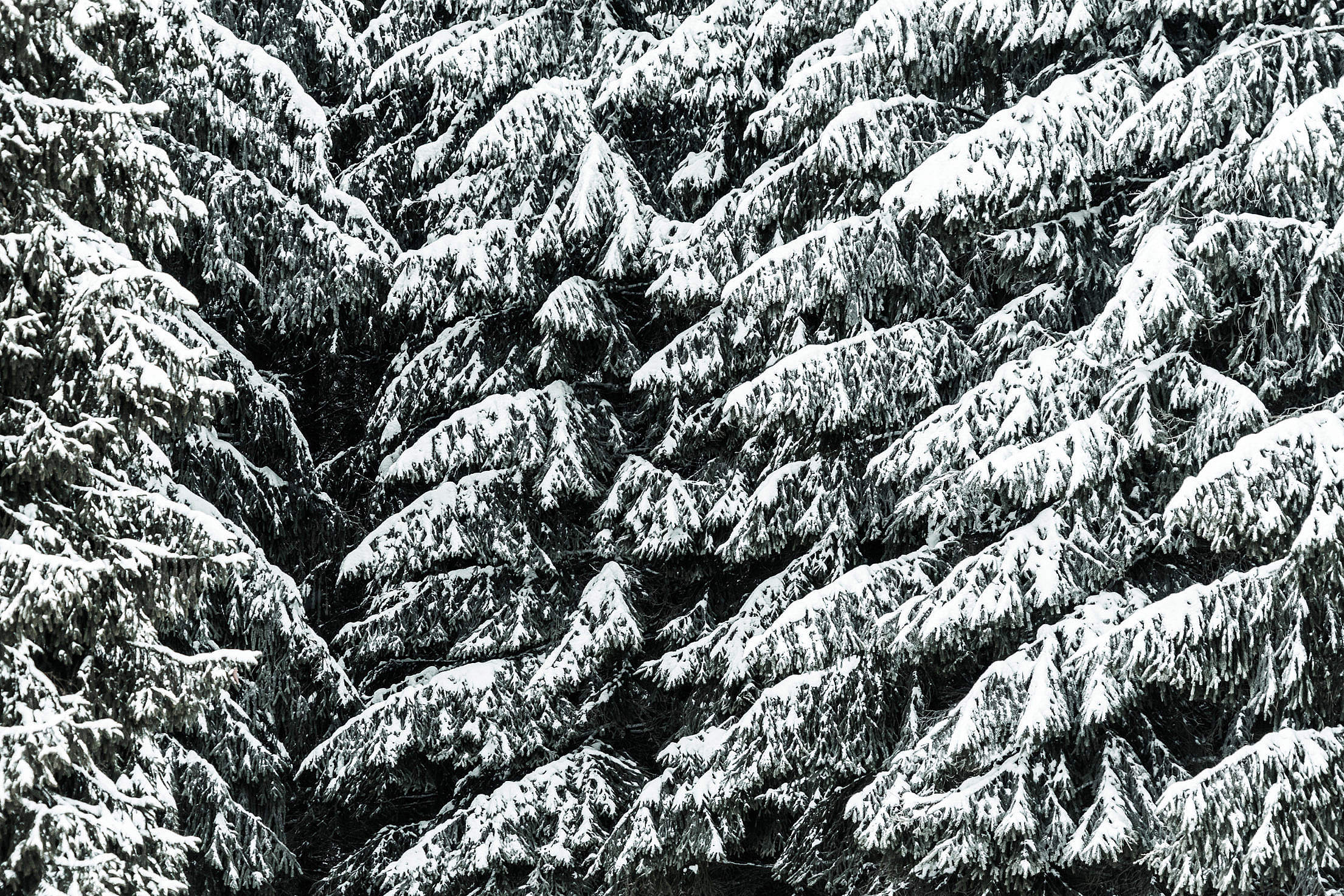 Conifer Trees Covered with Snow Close Up Background Free Stock Photo