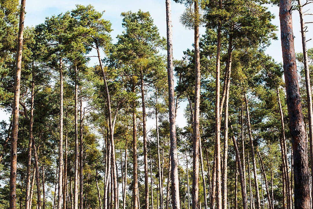 Download Coniferous Forest Treetops FREE Stock Photo