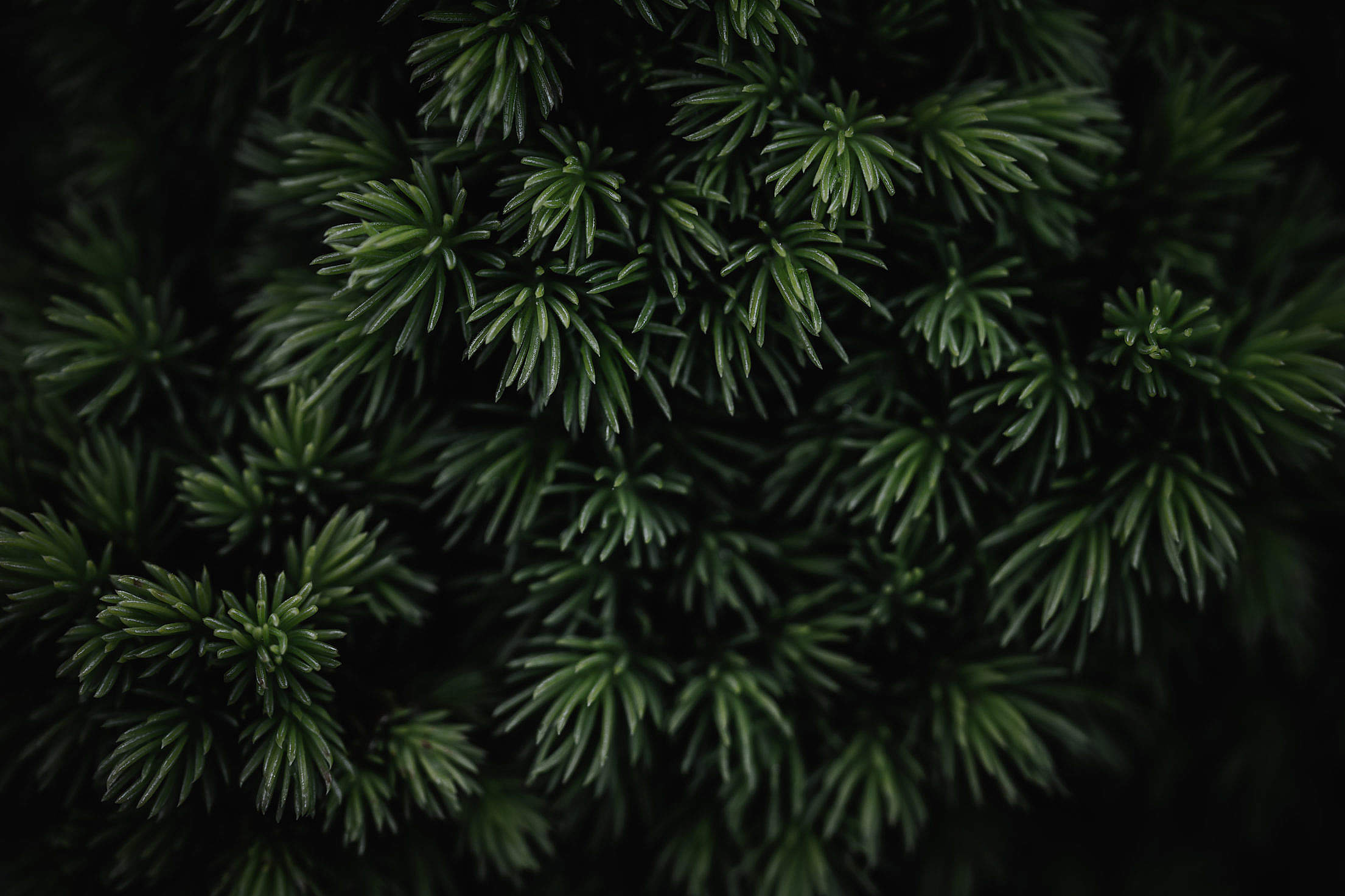 Coniferous Tree Background Free Stock Photo