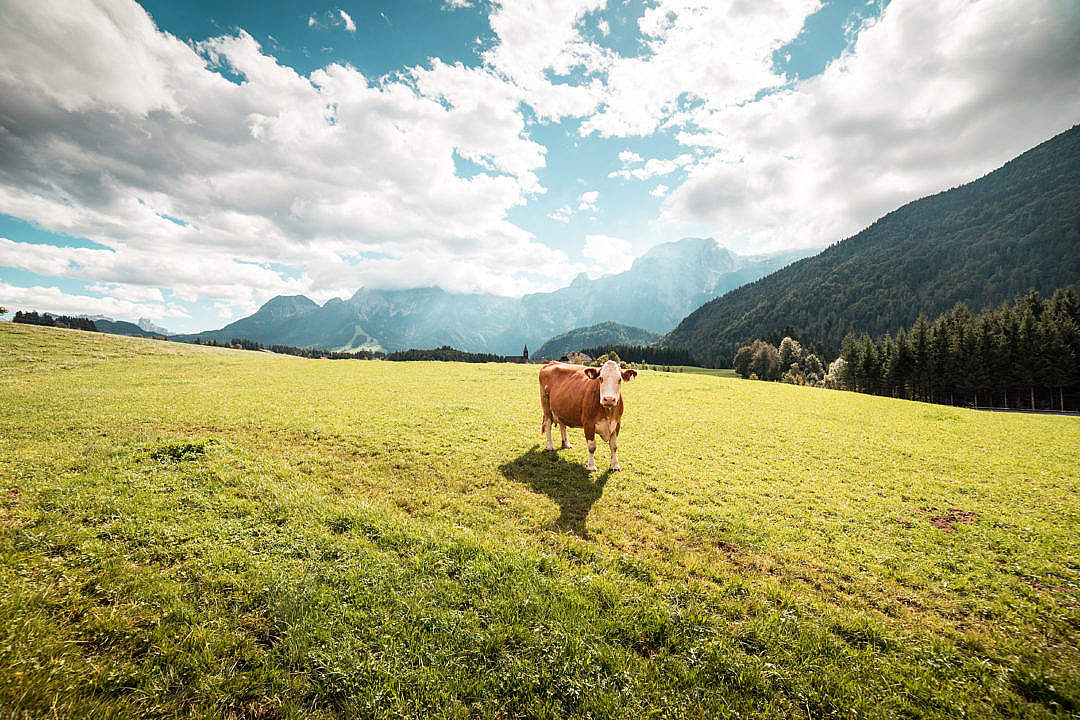 Download Cow in Large Pasture FREE Stock Photo