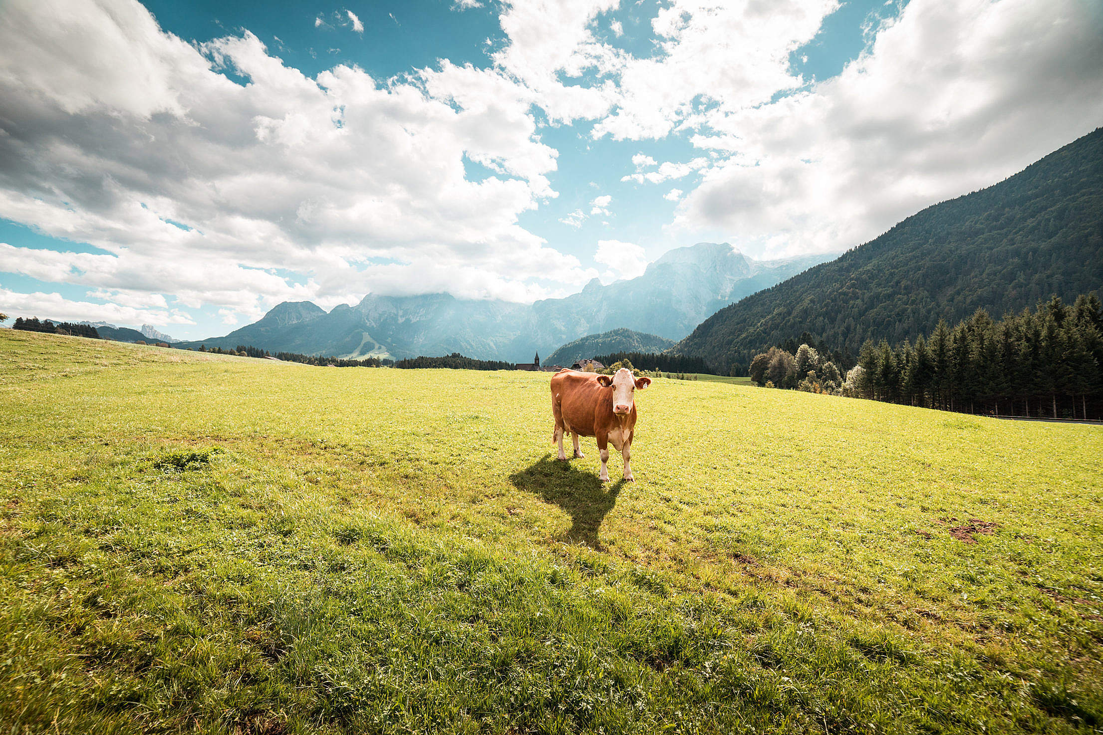 Cow in Large Pasture Free Stock Photo