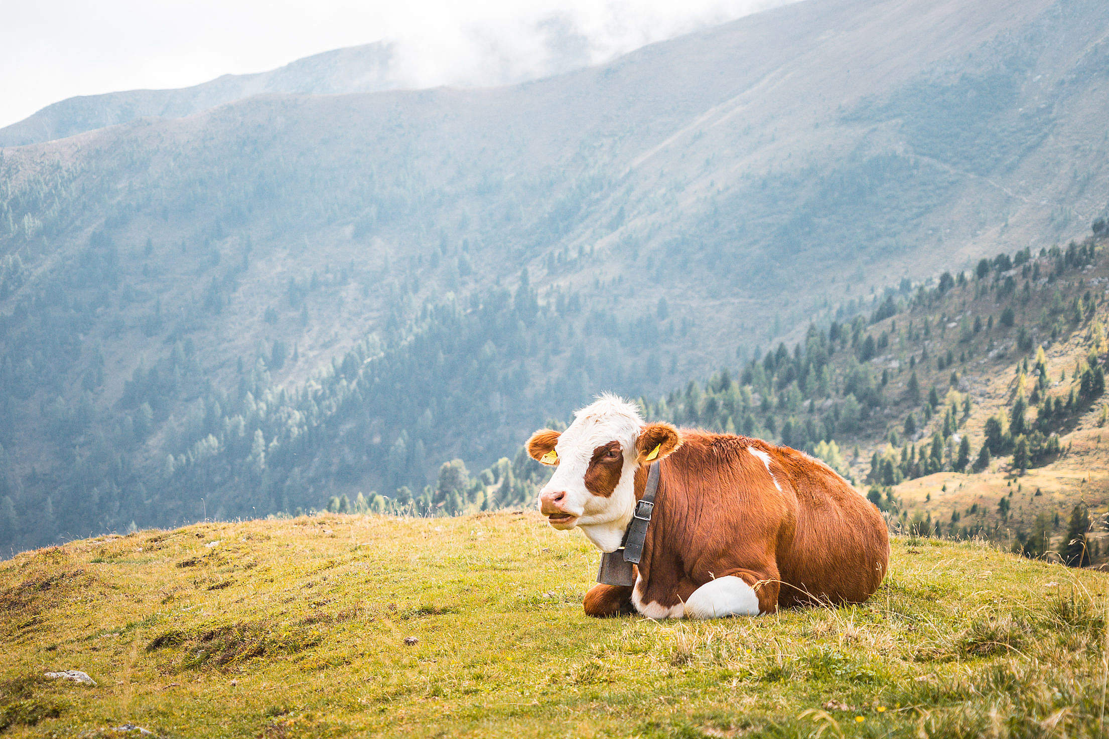 Cow Relaxing on Pastures in the Middle of Mountains Free Stock Photo
