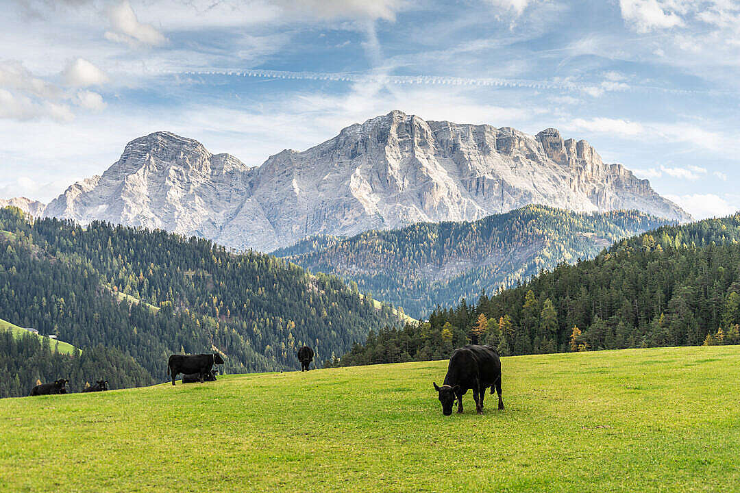 Download Cows Grazing in The Dolomites FREE Stock Photo