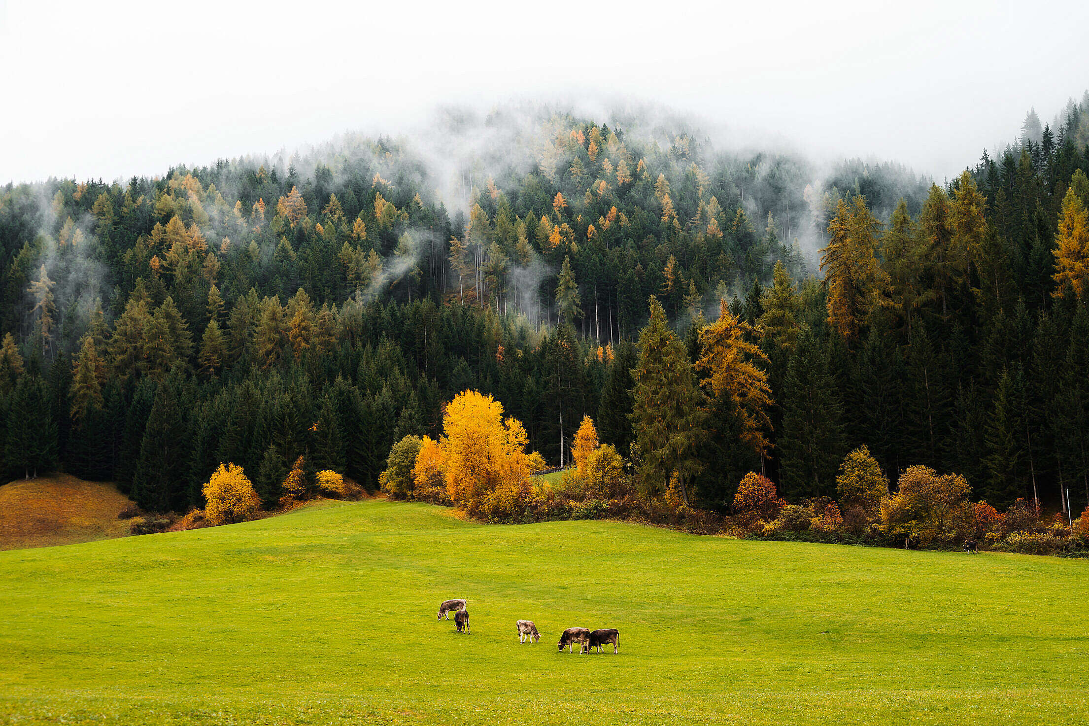 Cows Grazing on Fresh Green Pastures Free Stock Photo