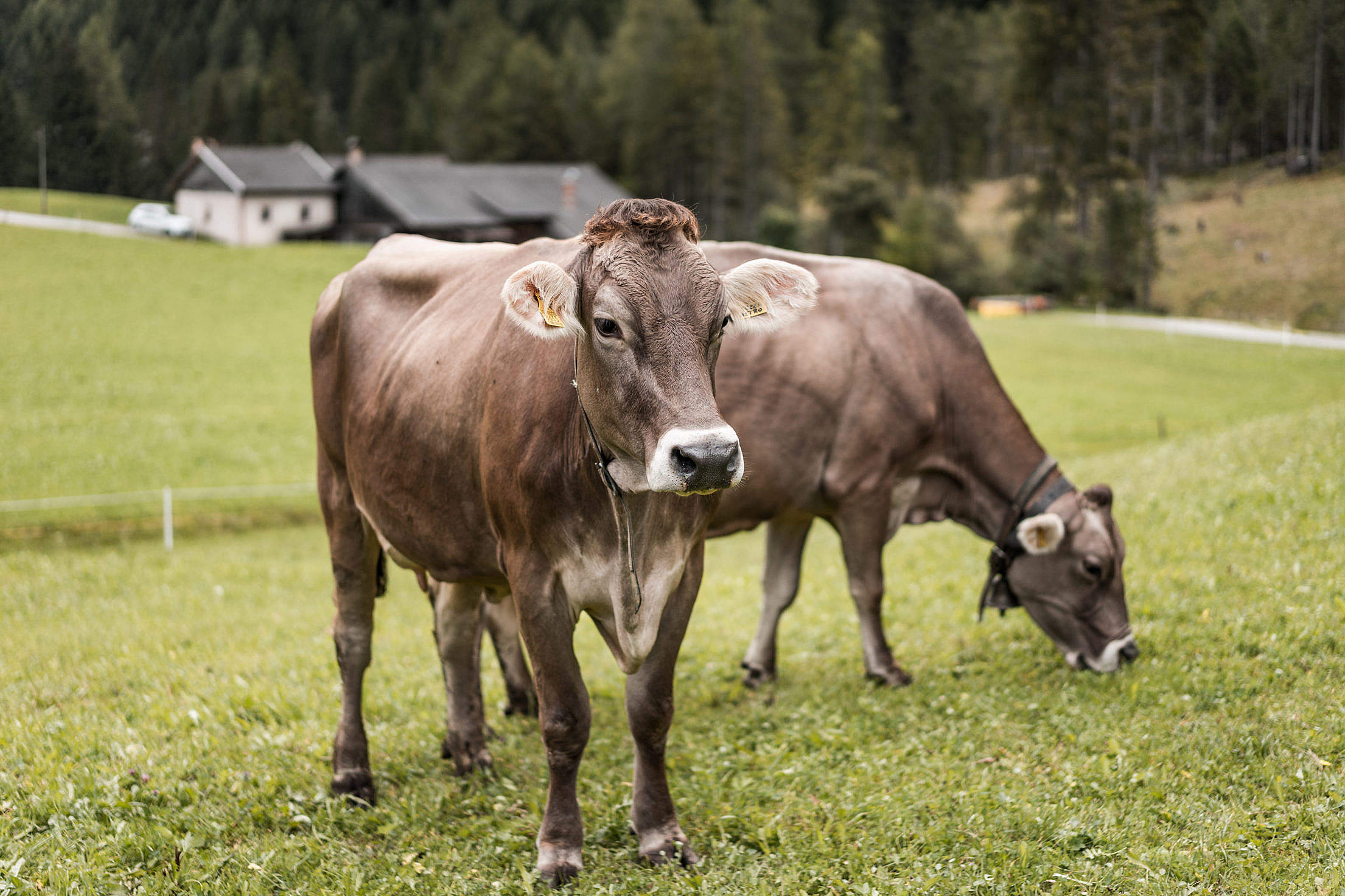 Download Cows on Pasture Free Stock Photo