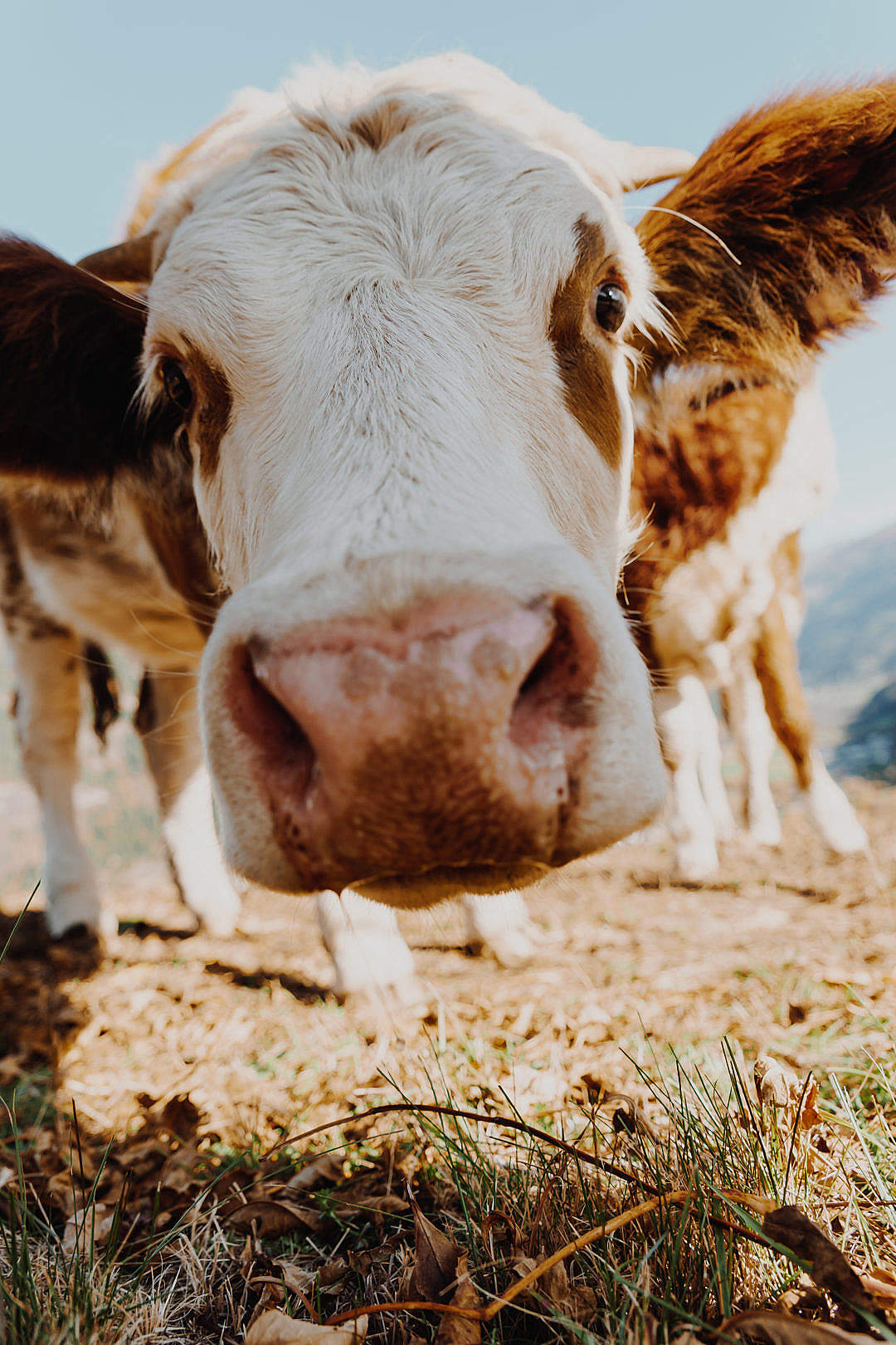 Download Curious Cow Portrait Close Up FREE Stock Photo