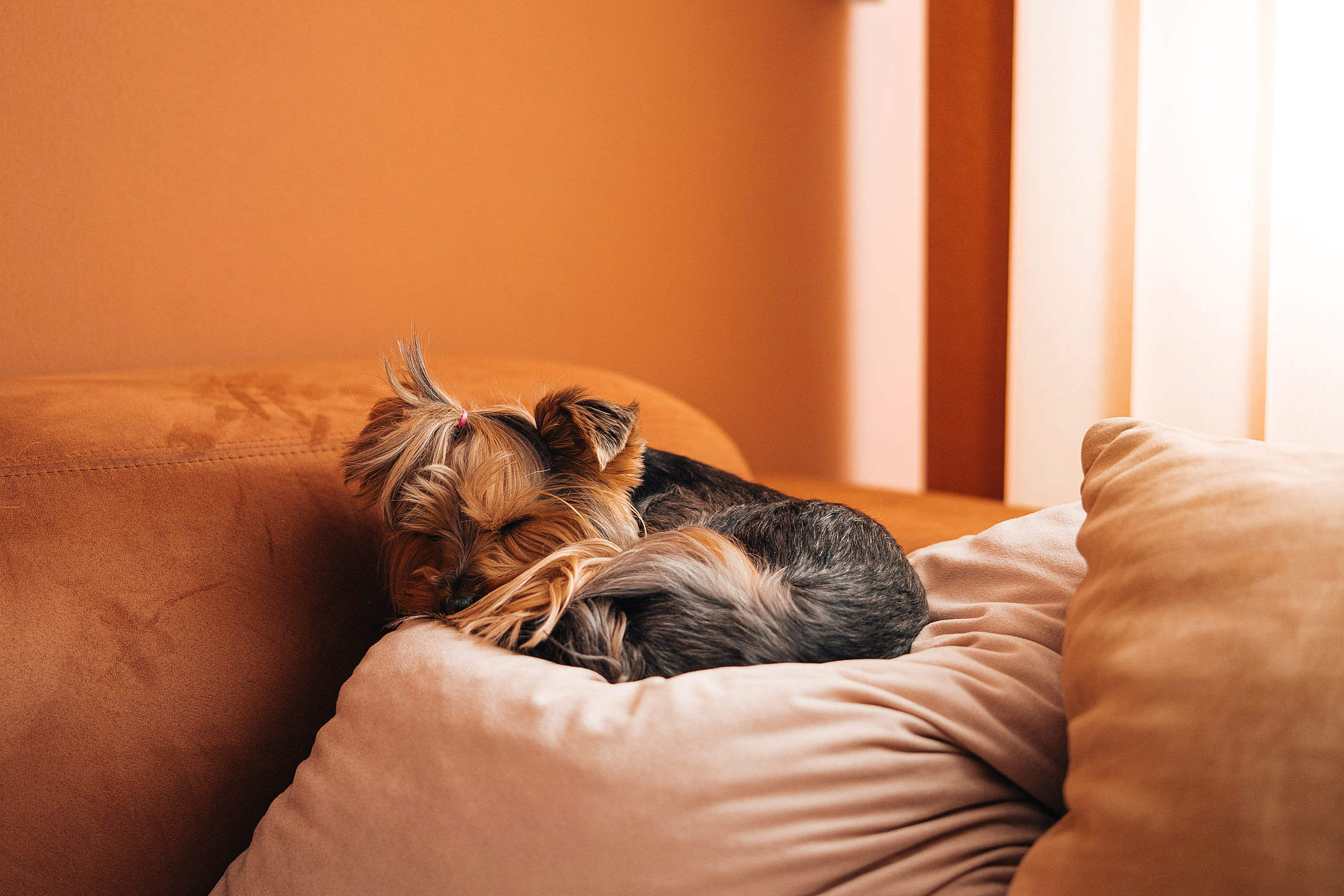 Cute Dog Sleeping on a Sofa Pillow Free Stock Photo