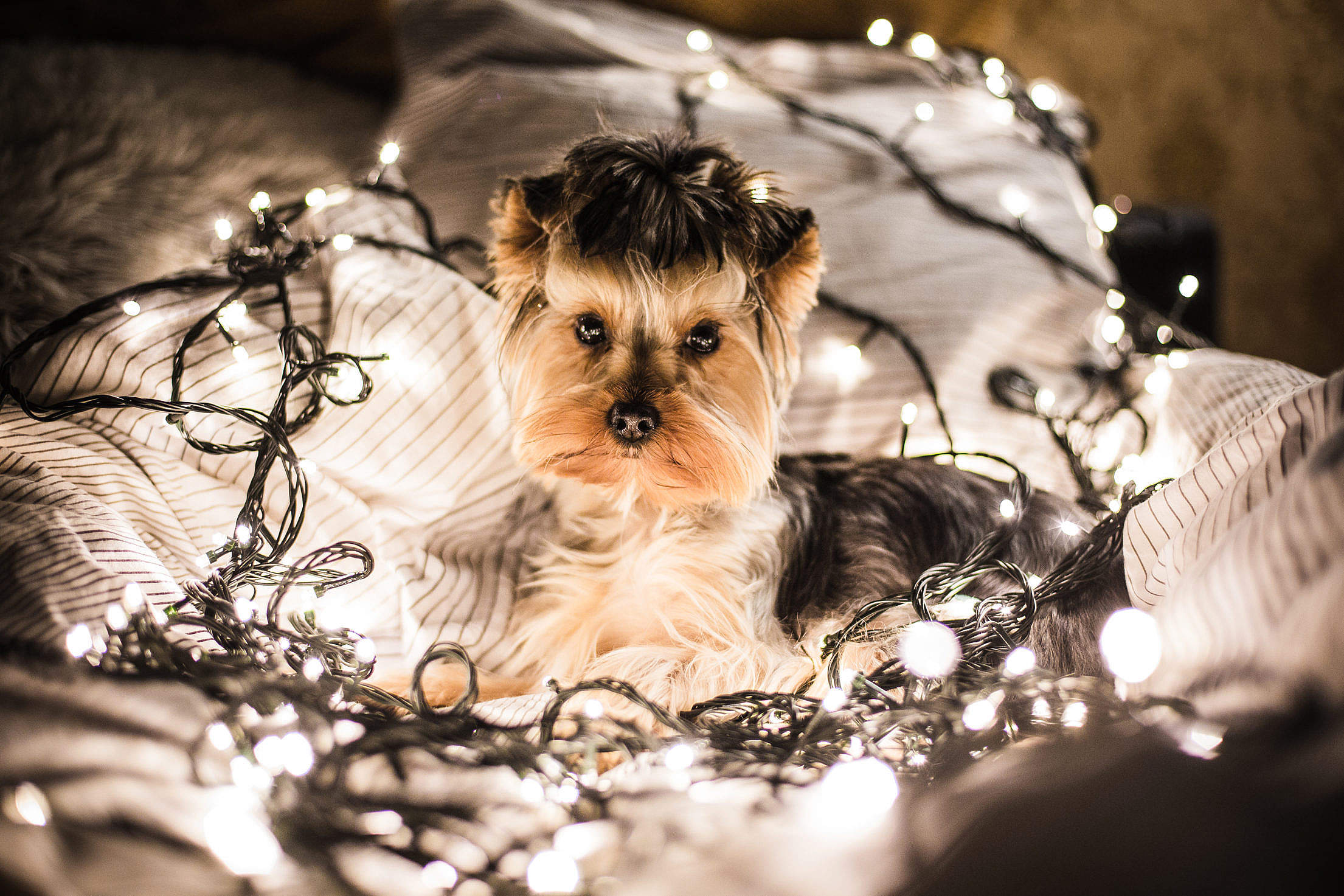 Download Cute Jessie The Dog in Christmas Lights Free Stock Photo