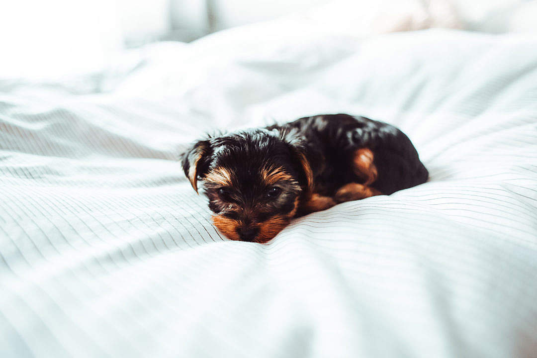 Download Cute Puppy in Bed FREE Stock Photo