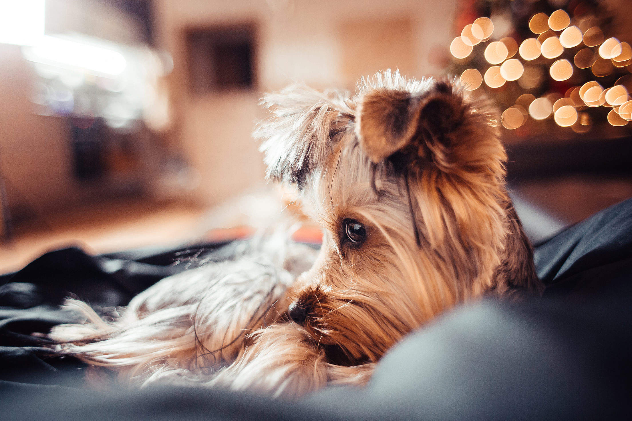 Cute Puppy on Christmas Free Stock Photo