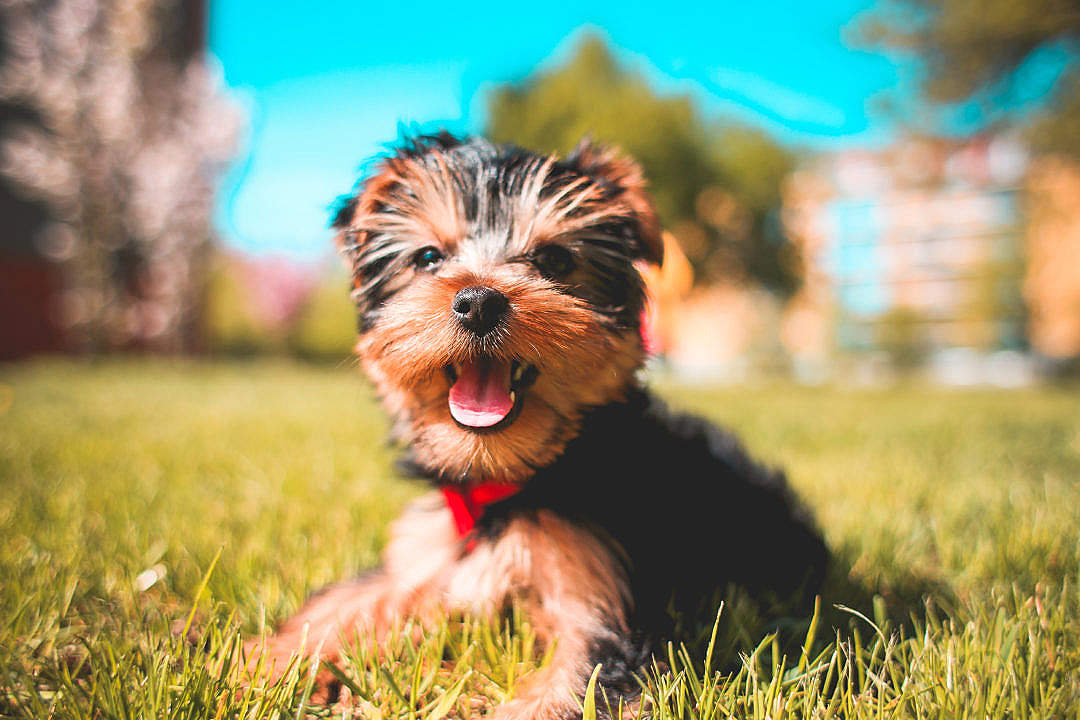 Download Cute Smiling Yorkshire-Terrier Puppy FREE Stock Photo