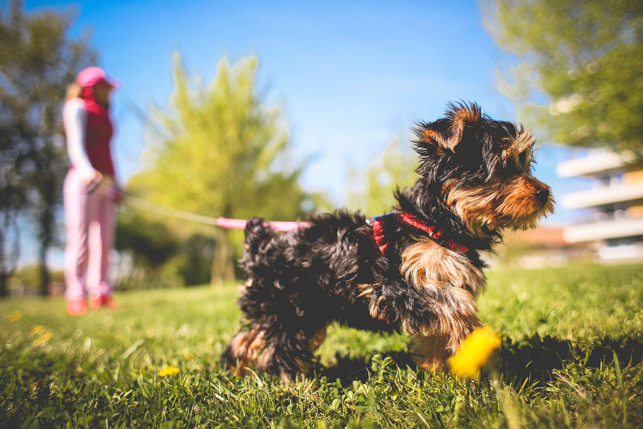 Cute Yorkshire Puppy Free Stock Photo