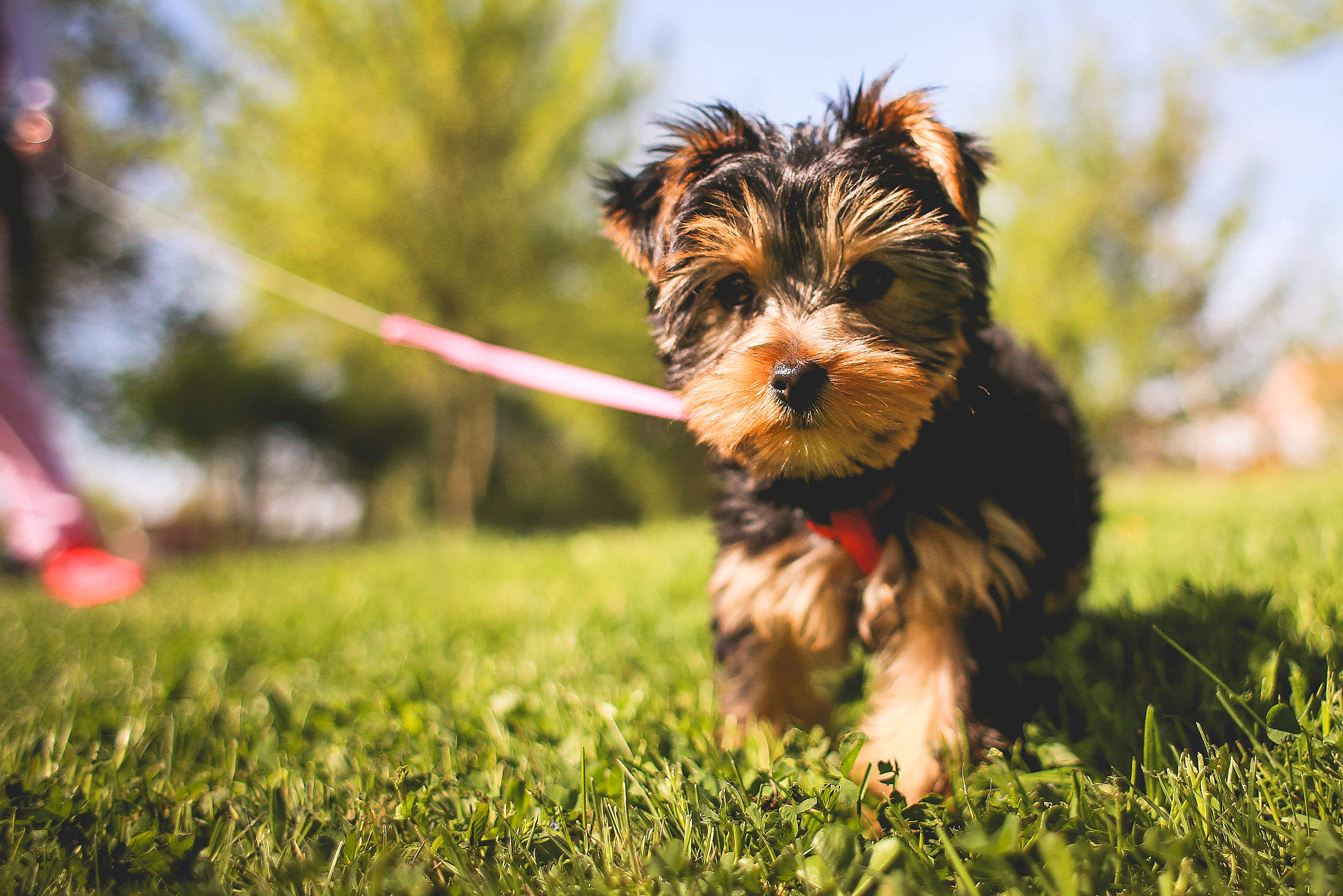 Cute Yorkshire Puppy in the Garden Free Stock Photo