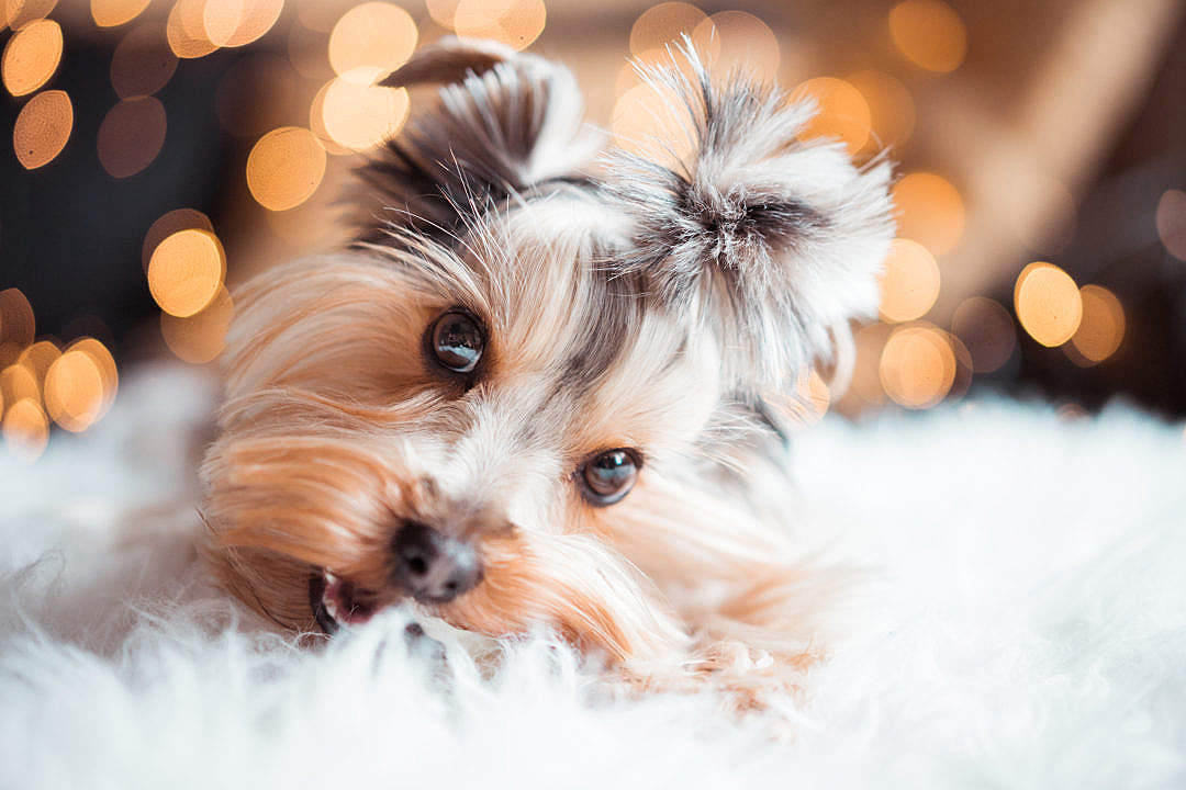 Download Cute Yorkshire Terrier Eating Mini Dog Snacks on Christmas FREE Stock Photo