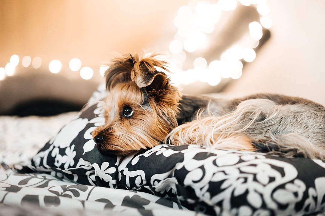 Download Cute Yorkshire Terrier Lying in Bed FREE Stock Photo