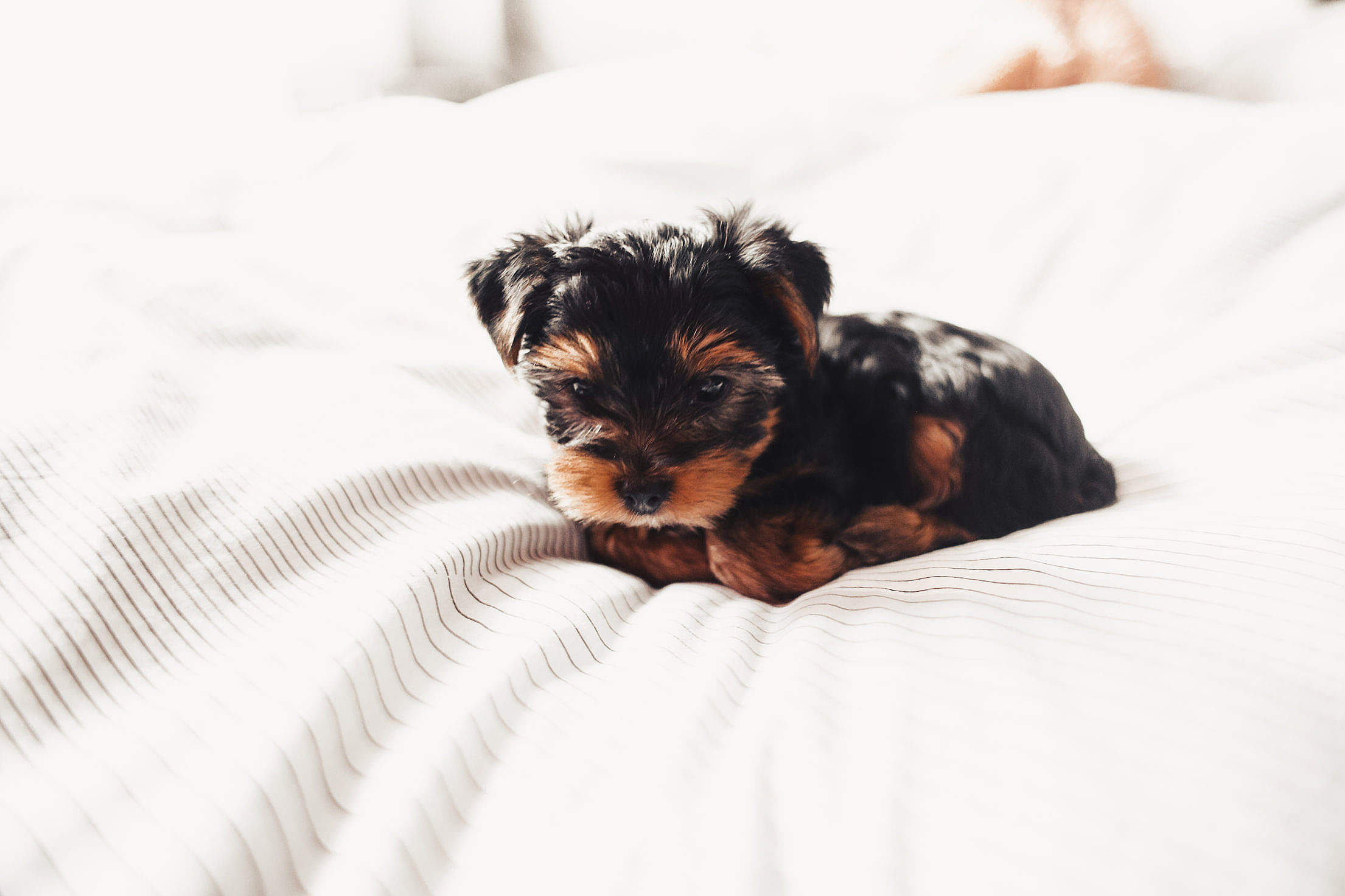 Download Cute Yorkshire Terrier Puppy Free Stock Photo