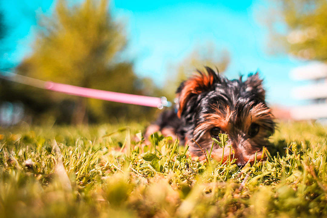 Download Cute Yorkshire-Terrier Puppy Playing Hide and Seek FREE Stock Photo