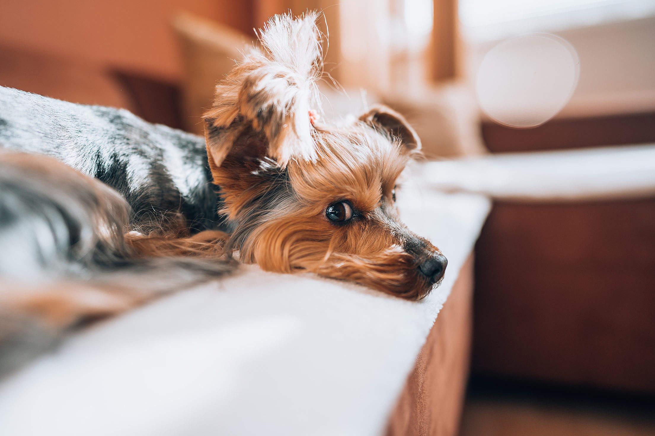 Cute Yorkshire-Terrier Relaxing on a Sofa in The Living Room Free Stock Photo