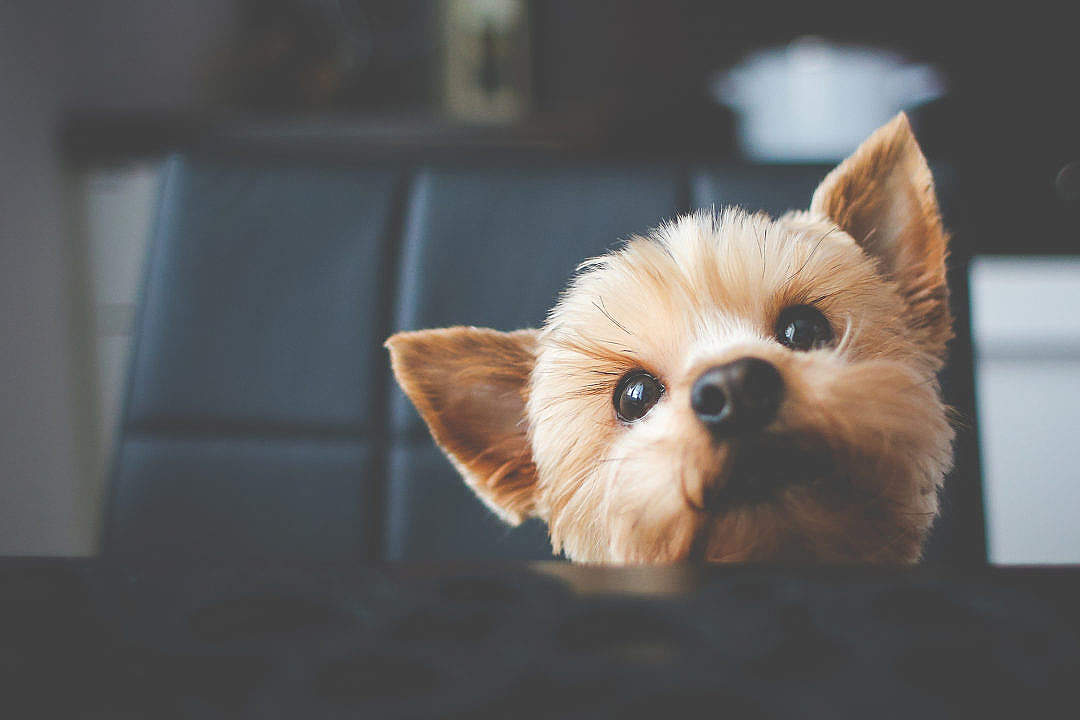 Download Cute Yorkshire Waiting for Her Food FREE Stock Photo