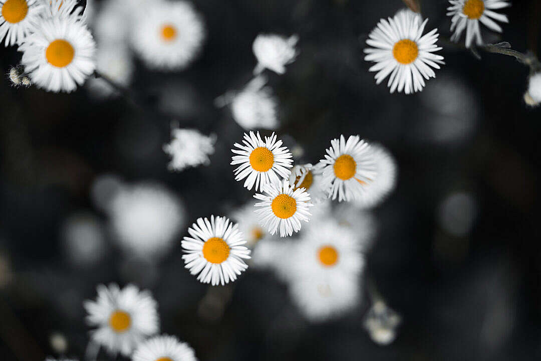 Download Daisies on Black Grass FREE Stock Photo