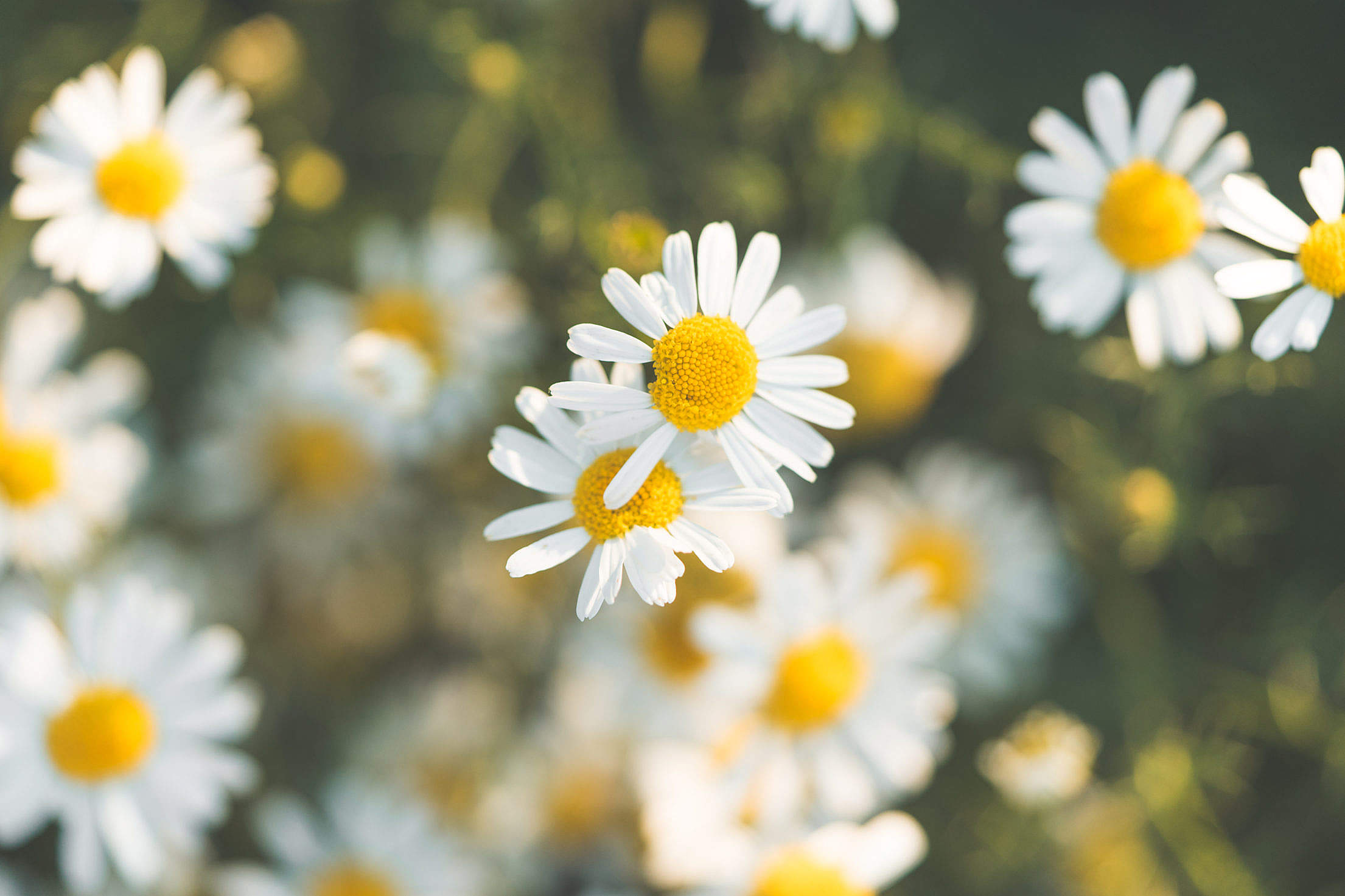 Daisy Flower #6 Free Stock Photo