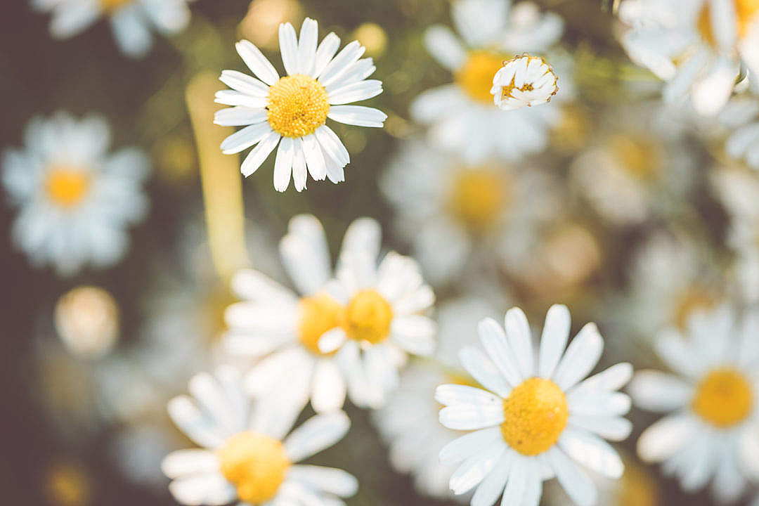 Download Daisy Flowers #2 FREE Stock Photo