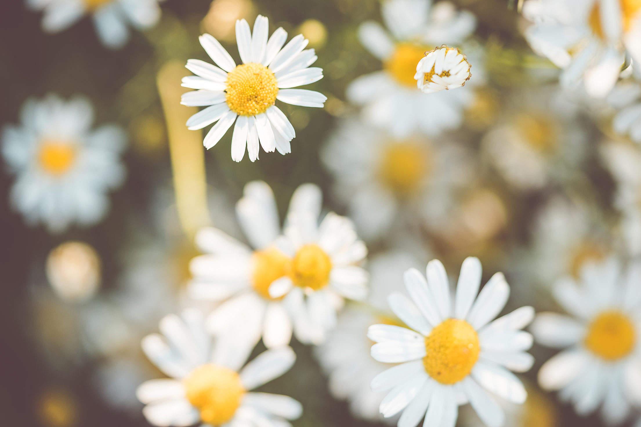 Daisy Flowers #2 Free Stock Photo