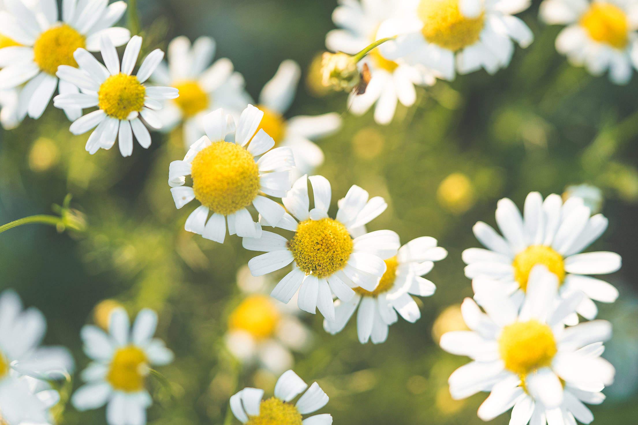 Daisy Flowers Free Stock Photo