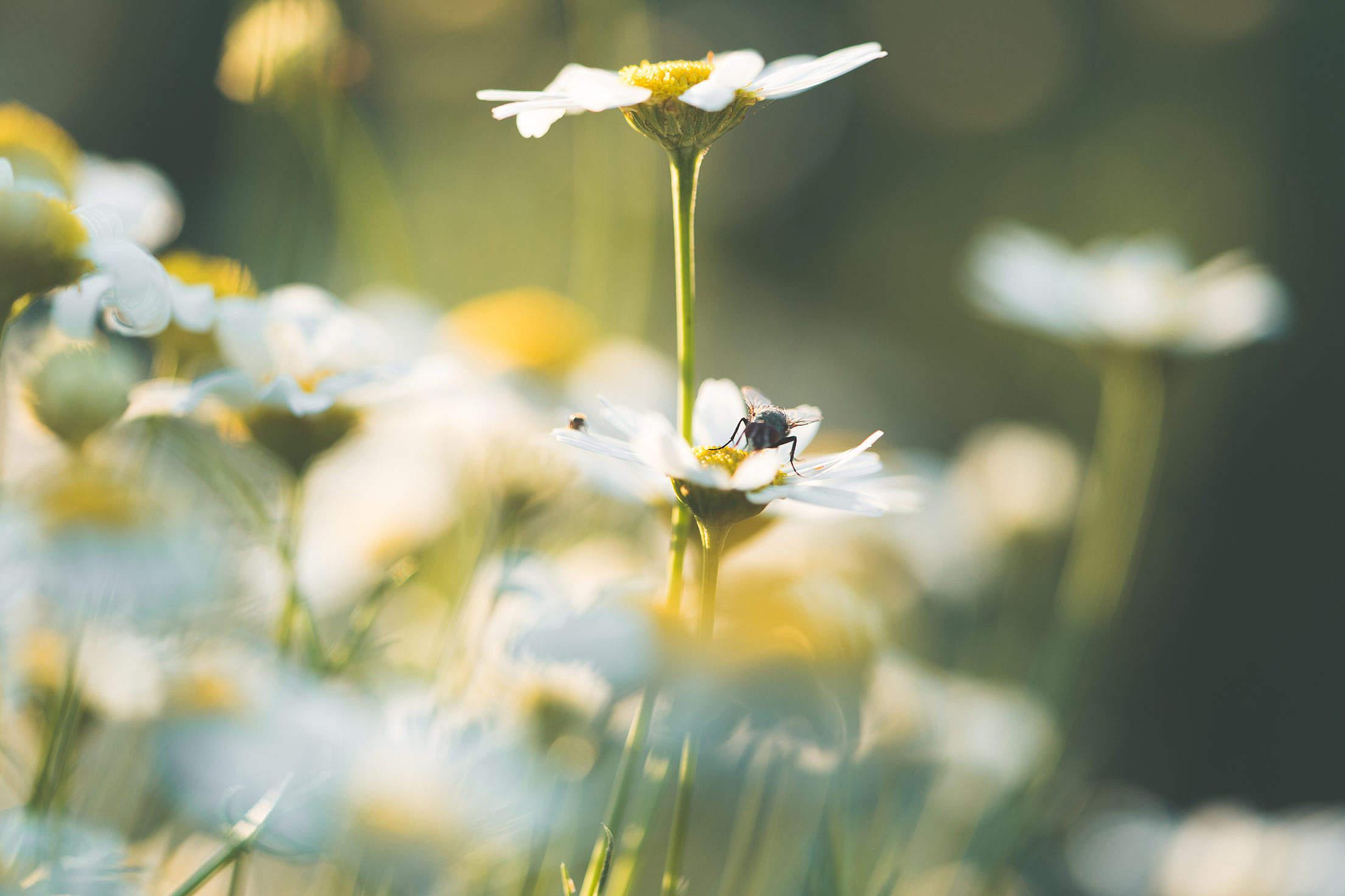 Daisy Flowers #3 Free Stock Photo