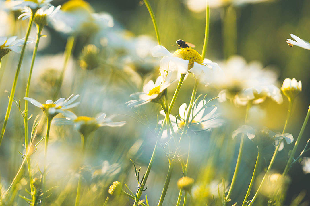 Download Daisy Flowers #4 FREE Stock Photo