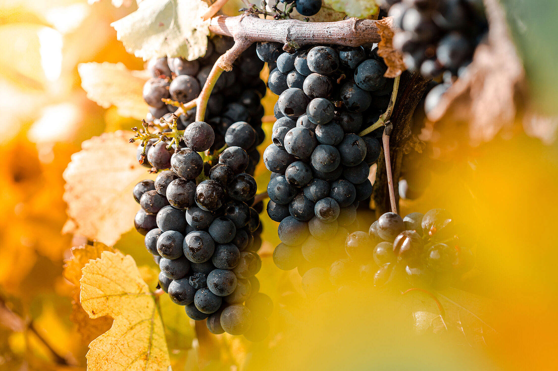 Damaged Blue Grapes in The Vineyard Free Stock Photo