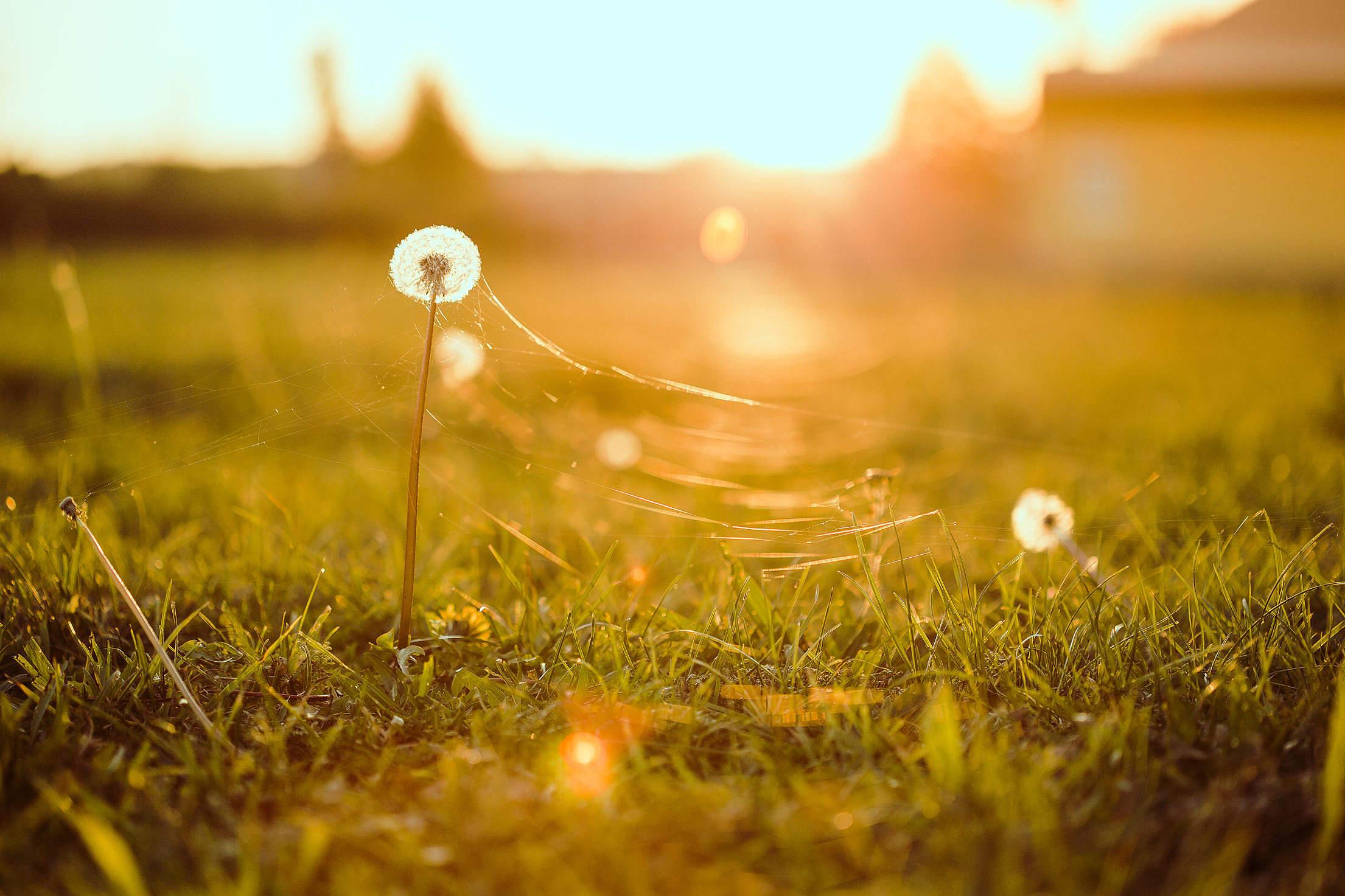 Dandelion with Cobweb Free Stock Photo