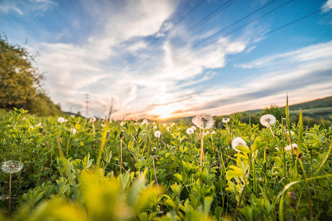 Download Dandelions/Blowballs in a Field at Sunset FREE Stock Photo