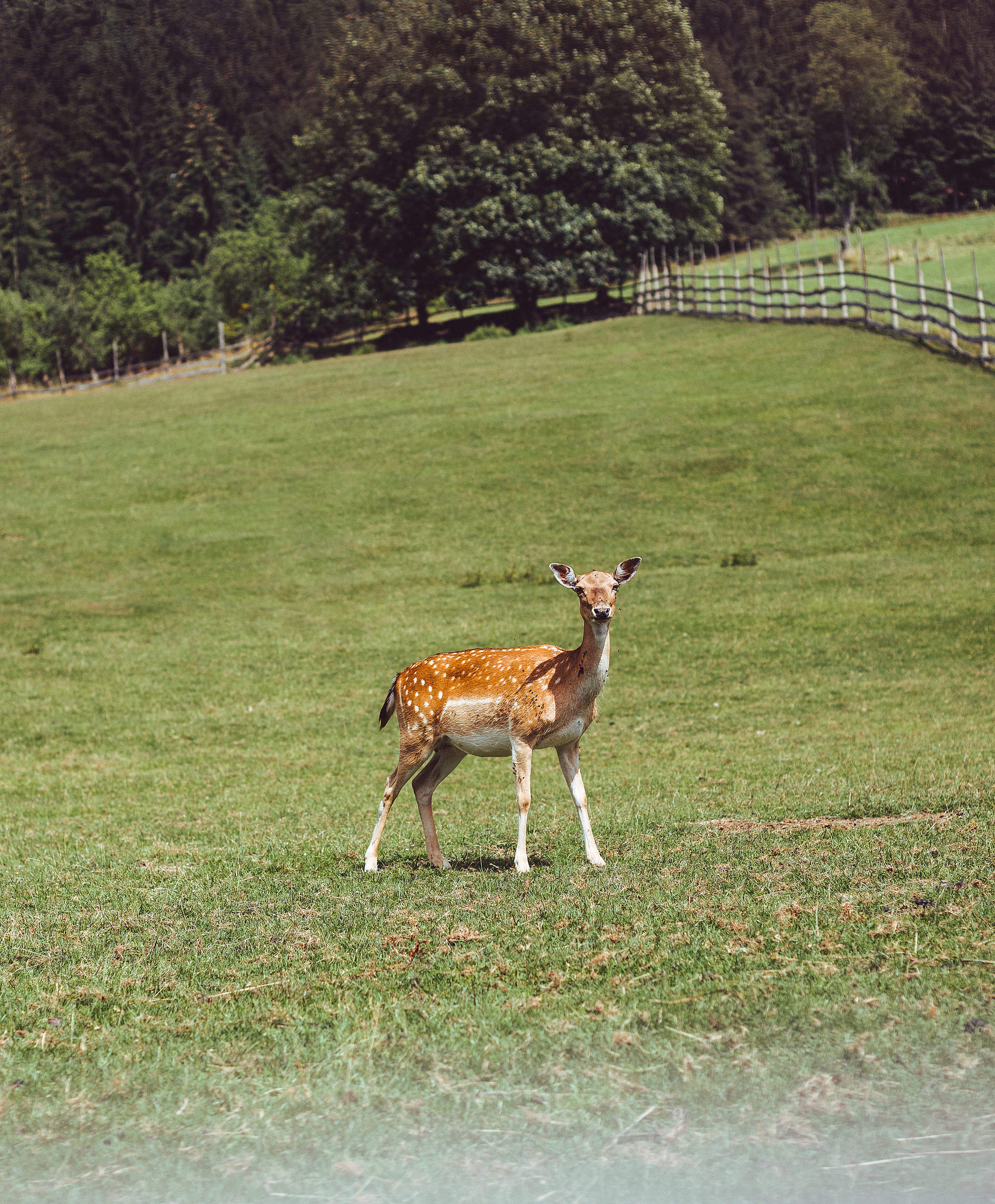 Deer Hind on a Green Pasture Free Stock Photo