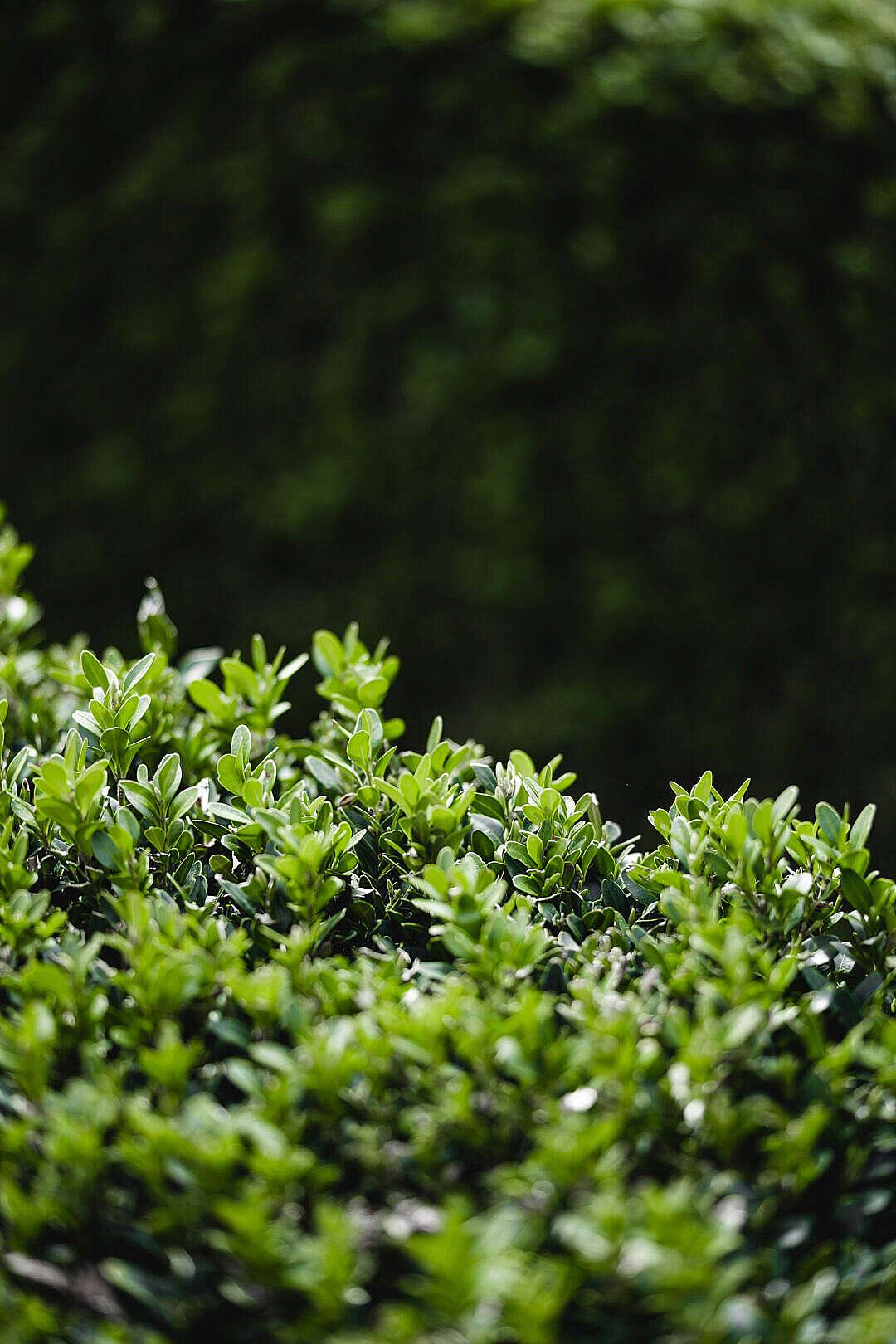 Download Detail of a Green Buxus Bush FREE Stock Photo