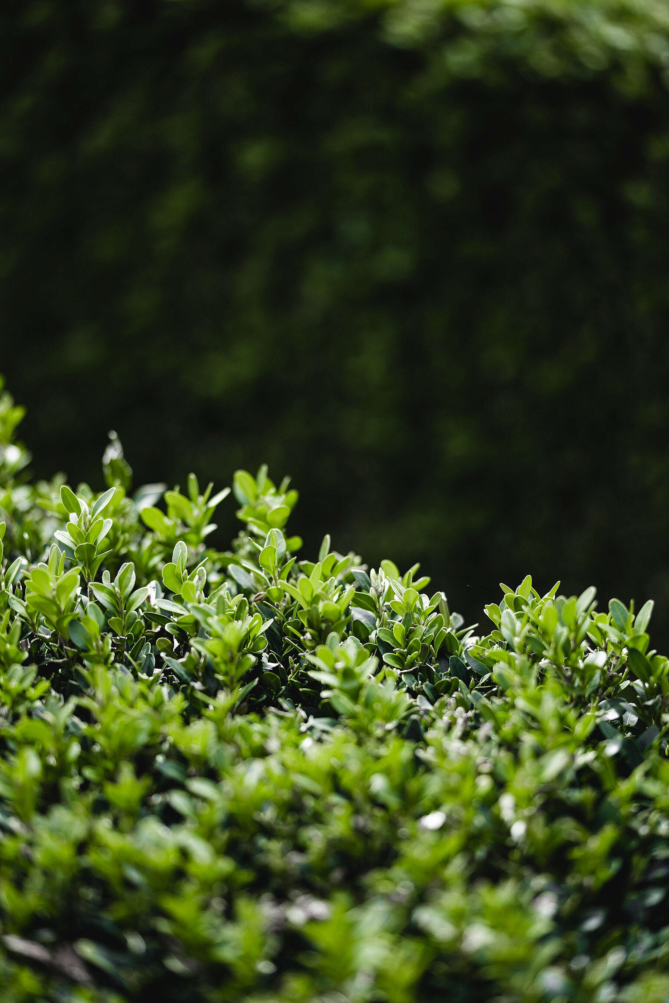 Detail of a Green Buxus Bush Free Stock Photo
