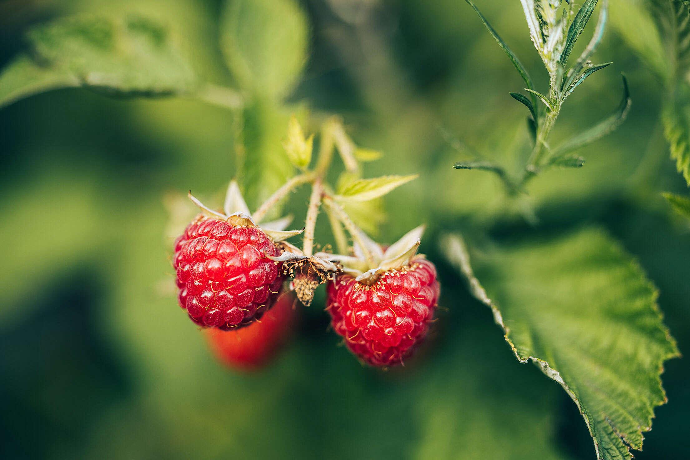 Detail of Raspberries Free Stock Photo
