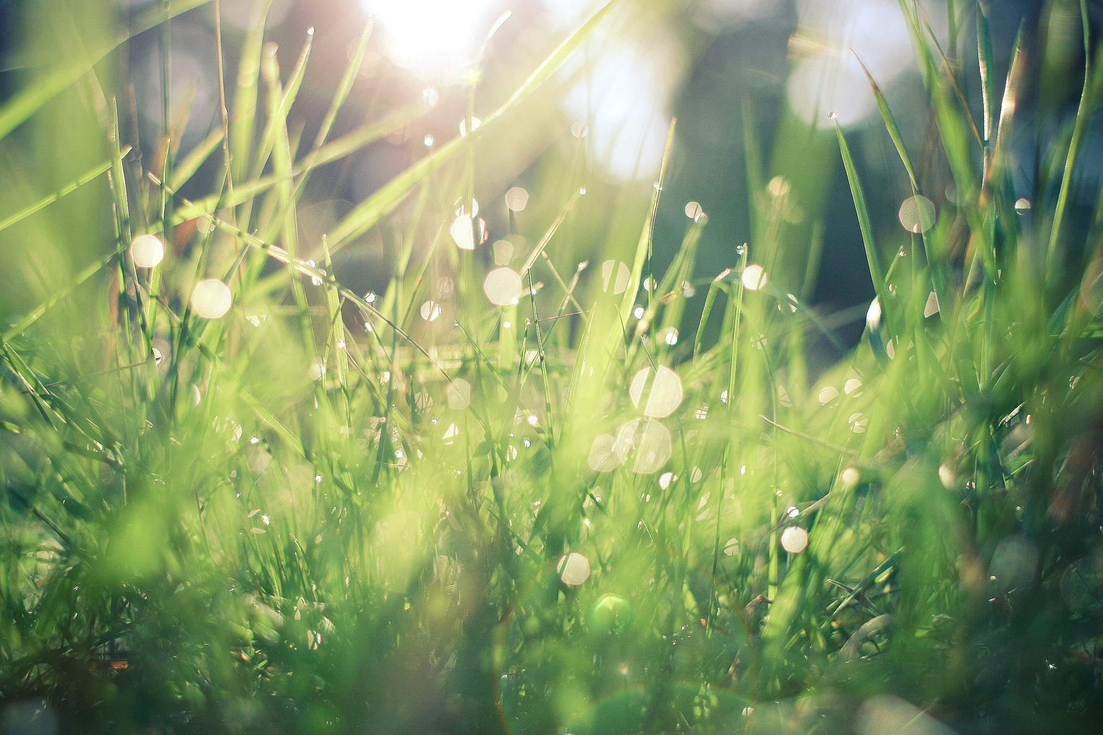 Dew in Grass Free Stock Photo