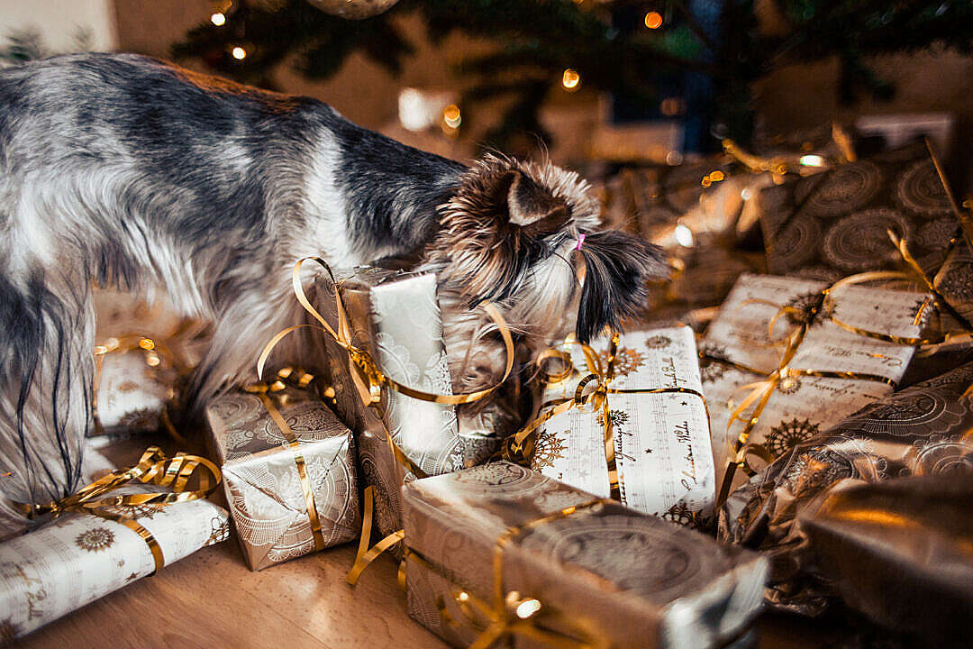 Download Dog Looking for Her Christmas Gifts FREE Stock Photo