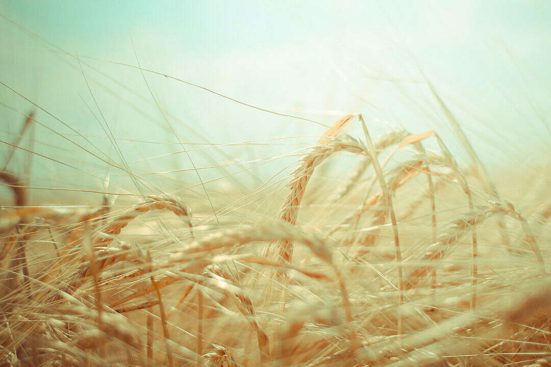 Download Dreamy Grain Field FREE Stock Photo
