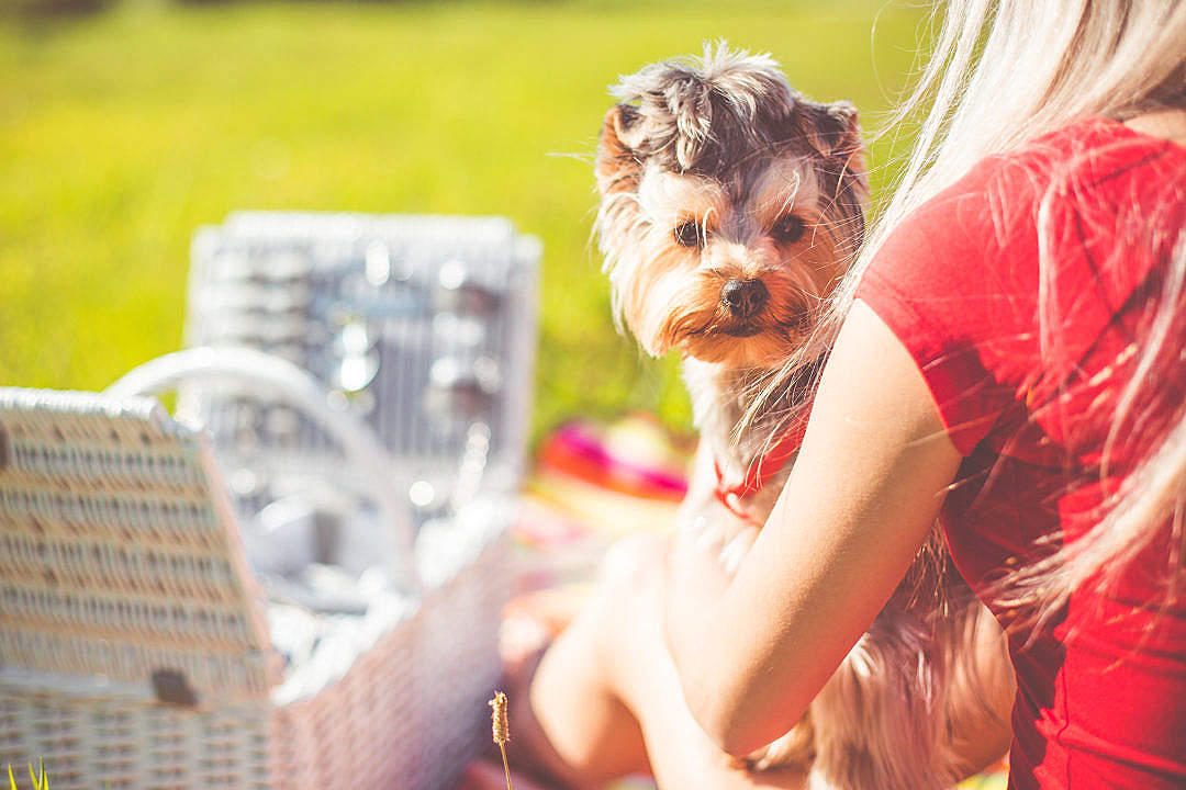 Download Enjoying Sunday Picnic with Cute Yorkshire Terrier FREE Stock Photo