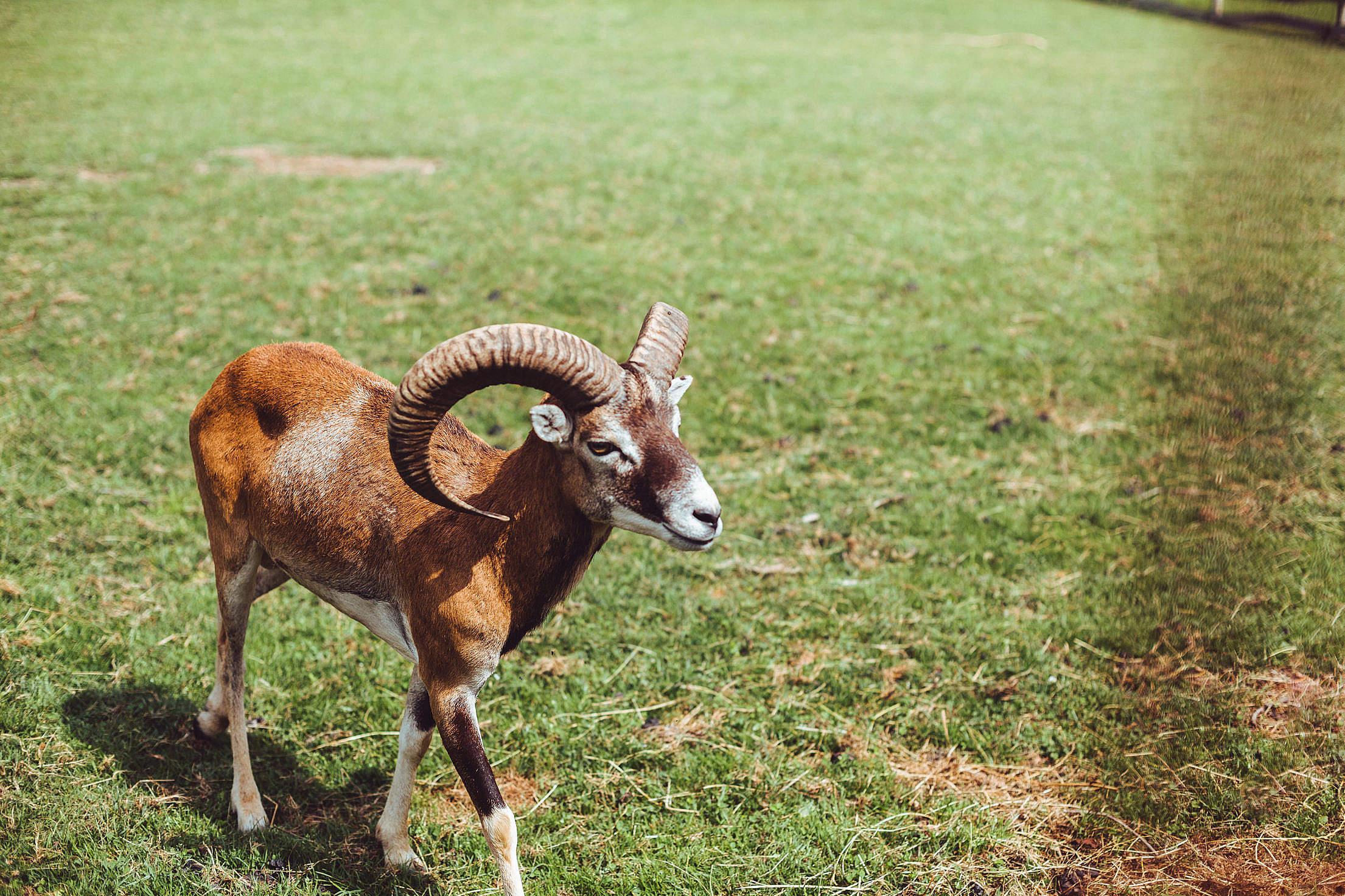 European Mouflon Walking on Green Grass Free Stock Photo