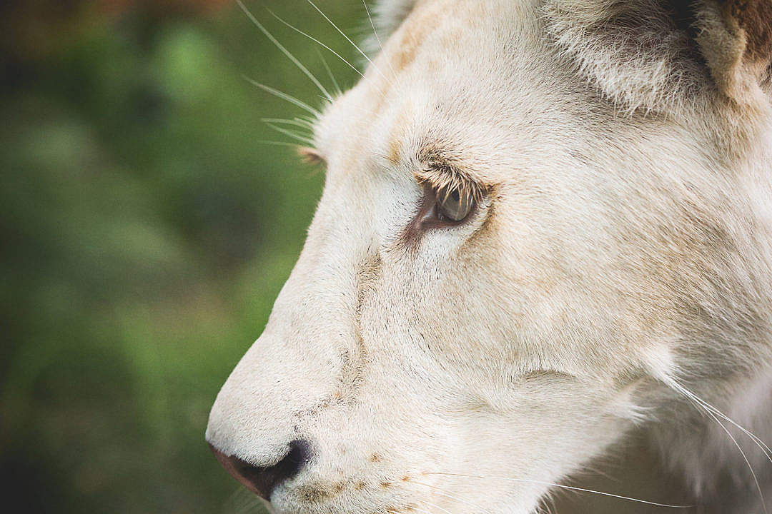 Download Eye of a White Lion FREE Stock Photo