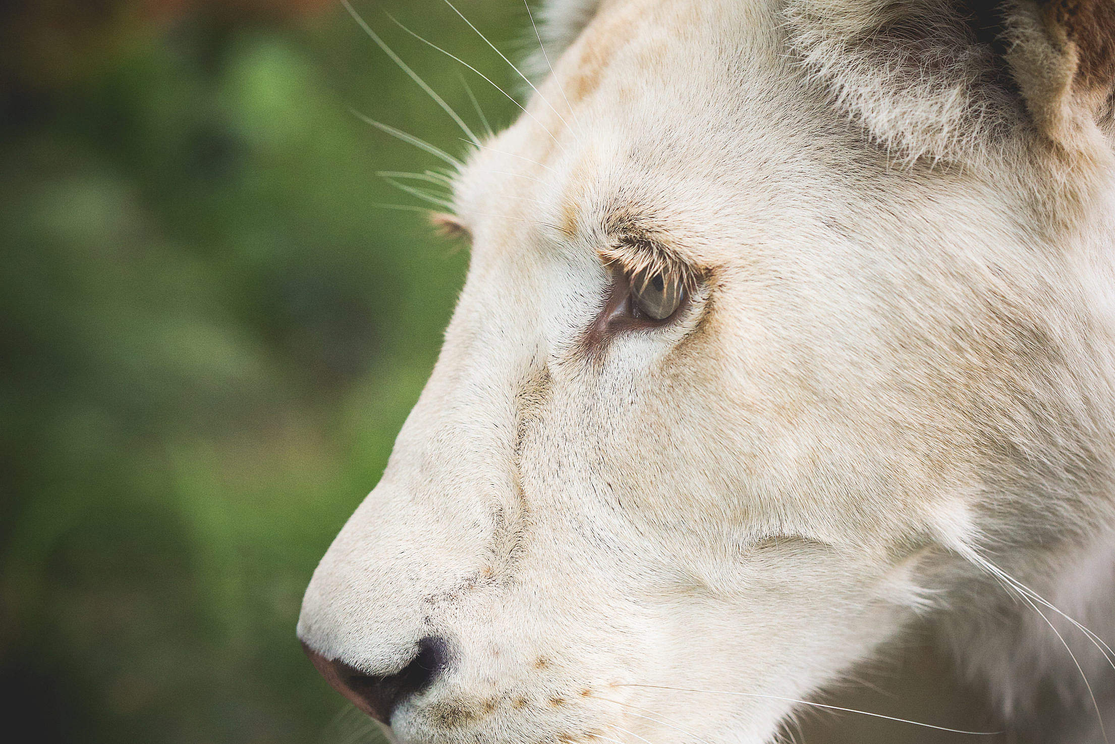 Eye of a White Lion Free Stock Photo