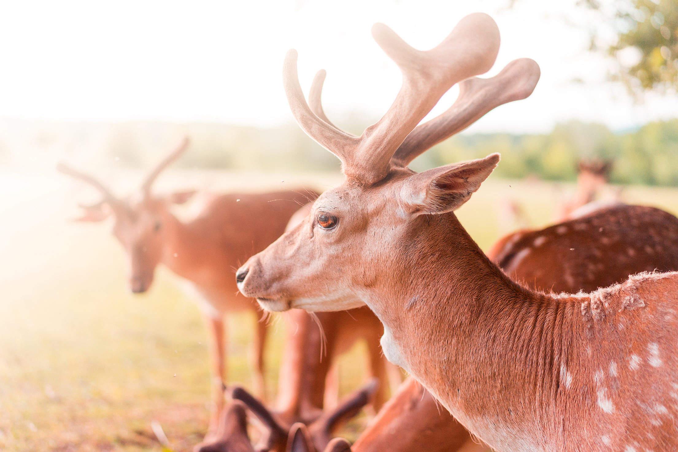 Fallow Deer Free Stock Photo