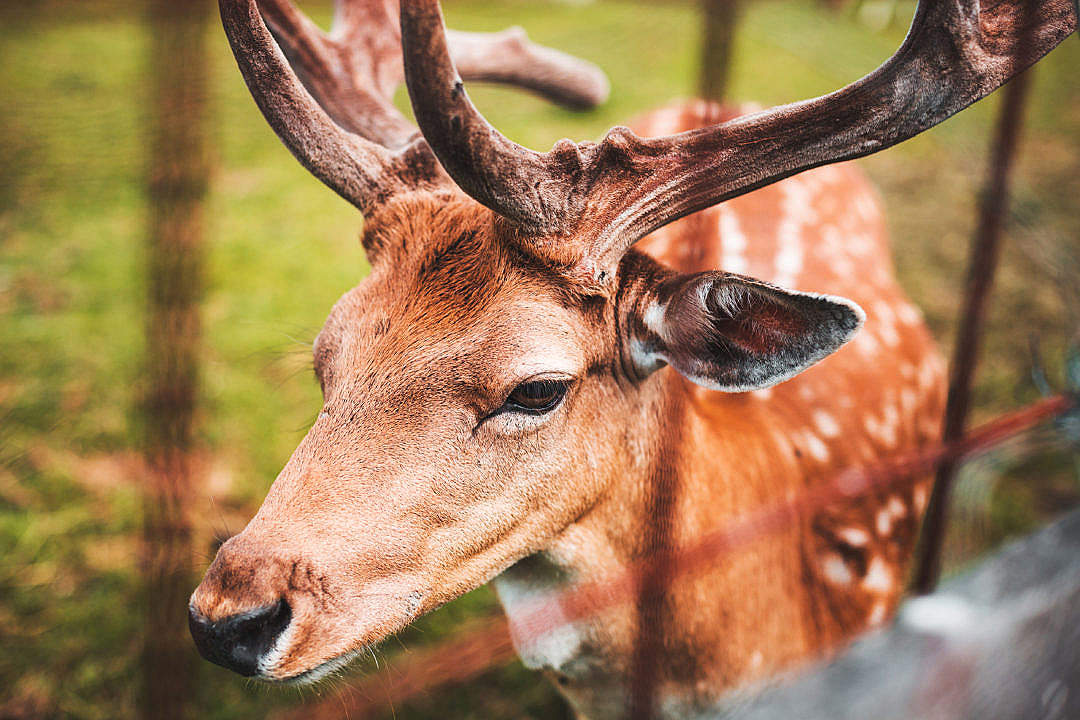 Download Fallow Deer Portrait FREE Stock Photo