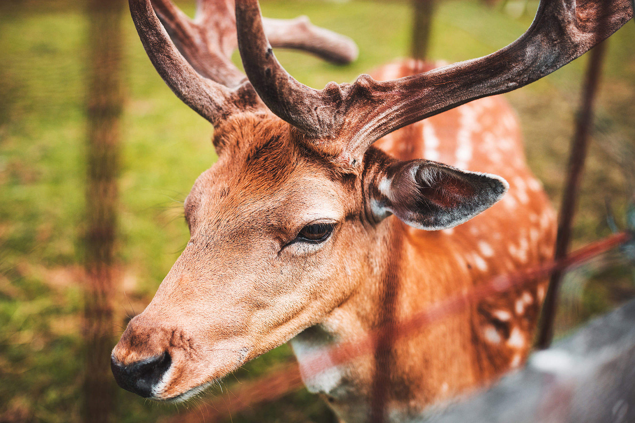 Fallow Deer Portrait Free Stock Photo
